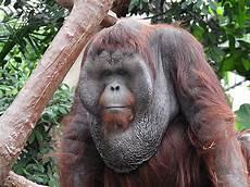 Orang Utan M 228 Nnchen Foto Bild Zoo Tiere Orang Utan