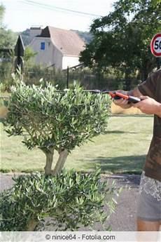 olivenbaum richtig schneiden anleitung und zeitpunkt