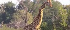 Knick In Der Optik - knick in der optik giraffe mit schiefen hals