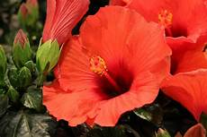 Hibiskus Pflege Zimmerpflanze - hibiskus pflege anleitung als garten und zimmerpflanze