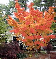 Coral Bark Japanese Maple Gardening My Own