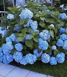 hortensien umpflanzen september bauern hortensie quot g 233 n 233 rale vicomtesse de vibraye 174 quot 1
