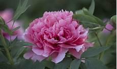 ca fiore peonia il fiore pi 249 amato della primavera casafacile