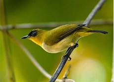 Gambar Dan Jenis Jenis Burung Pleci Kacamata Di Indonesia