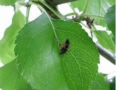 apfelbaum hat braune blätter unbekannter fressfeind auf dem apfelbaum welches insekt