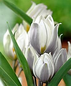 fiori bulbo acquista tulipani botanici bakker