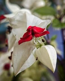 Paling Keren 12 Gambar Bunga Nona Makan Sirih Richa Gambar