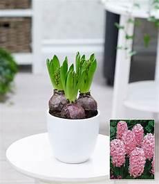 hyazinthe im topf rosa 1a zimmerpflanzen kaufen