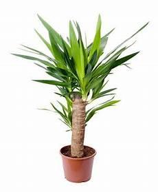 Yucca Palmen Richtig Zur 252 Ckschneiden So Verj 252 Ngen Sie