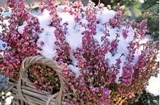 balkonpflanzen herbst winter balkonpflanzen im winter 187 diese pflanzen 252 berleben die k 228 lte