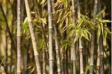 Bambus Braune Blätter - bambus hat braune bl 228 tter 187 das k 246 nnen sie dagegen tun