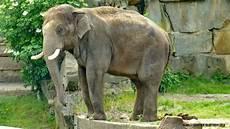 Malvorlage Indischer Elefant Indischer Elefant Berlin Myheimat De