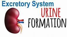 urine formation in kidney youtube