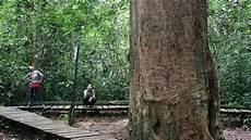 Pohon Ulin Raksasa Berusia 1 000 Tahun Masih Berdiri Di
