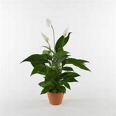 piante da appartamento con fiori bianchi piante da appartamento poca luce piante appartamento