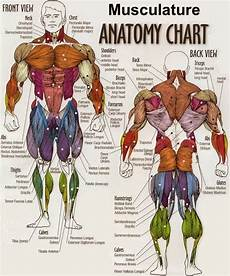 Pengertian Sistem Gerak Manusia Dan Fungsi Otot Manusia