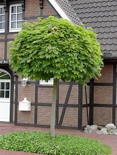 baum für vorgarten der richtige hausbaum 15 baumarten die in ihren garten