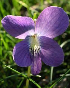 flor emblematica del estado miranda la violeta es la flor del estado de illinois visitar chicago