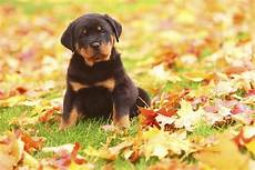 facts about rottweilers that ll make you want to bring one