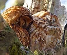 Eulen Malvorlagen Jogja Snuggling Owls Birds Owl Beautiful Birds