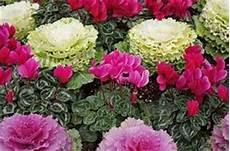 fiori invernali per balconi 10 fiori da balcone invernali
