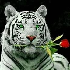 20 Koleski Terbaru Wallpaper Macan Putih Prabu Siliwangi