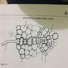Sebutkan Bagian Bagian Struktur Anatomi Akar Dan Fungsinya