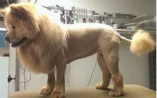 lion cut chow dog grooming styles pinterest