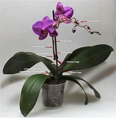 wie pflegt orchideen was ist was an einer phalaenopsis orchidee pflanzen