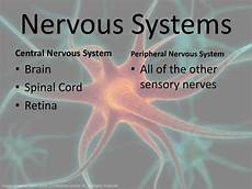 ppt the nervous system powerpoint presentation id 3704302