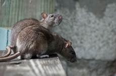 Die Besten Tipps Zur Rattenbek 228 Mpfung Ohne Gift
