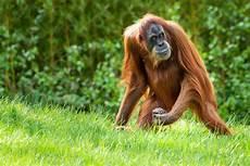Orang Utan Foto Bild Tiere Wildlife S 228 Ugetiere