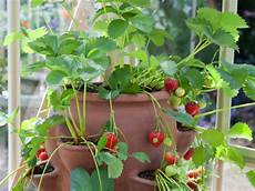 Gardening Strawberries by 10 Useful Tips For Growing Strawberries In A Pot The