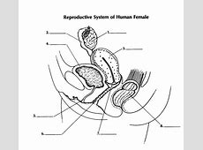 Female Reproductive System Diagram,Female reproductive system diagram labeled | Healthiack,Female reproductive system labeled diagram|2020-12-09
