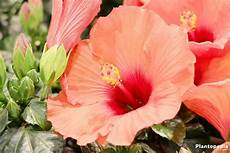 hibiscus plant and flower how to grow and care for