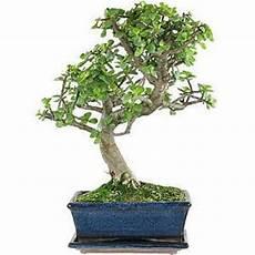 geldbaum bonsai pflege bonsaischule wenddorf