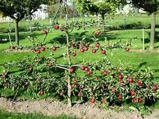 Pommier En Palmette Horizontal 과일 나무 나무 과일