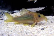 Makanan Ikan Hias Corydoras inilah 7 jenis ikan hias yang bisa kamu pelihara no 6