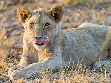 yes lions will hunt humans if given the chance smart