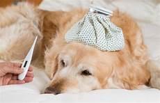 hund fieber messen fieber beim hund symptome und behandlung deine tiere