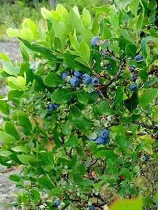 growing blueberries a plant for all seasons farmer