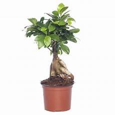 Ficus Microcarpa Ginseng Care Adinaporter