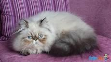 annunci gatti persiani gatti persiani colourpoint maschi interi 10 mesi in