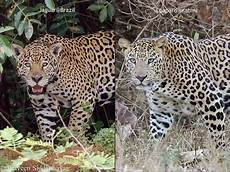 jaguar ou leopard what is the difference between a jaguar and a leopard quora
