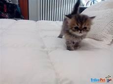 prezzi gatti persiani morbidi cuccioli di persiano in vendita a parma pr