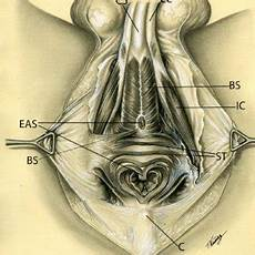 External Sphincter And Membranous