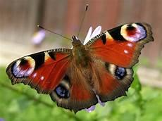 Ausmalbild Schmetterling Tagpfauenauge Naturdetektive F 252 R Kinder Www Naturdetektive De
