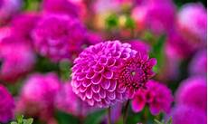 flower images hd wallpapers dahlia flower hd wallpapers hd wallpapers high