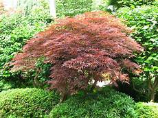 erable japon file acer palmatum 10 by line1 jpg