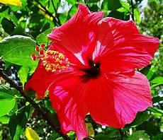 flor emblematica del estado trujillo venezuela s 237 mbolos naturales del estado nueva esparta flores natural esparto